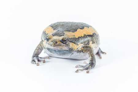 bullfrog: bullfrog in Thailand