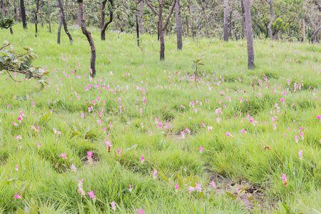siam: siam tulip flower Stock Photo