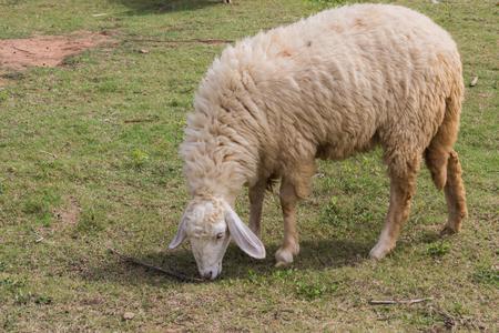 defiant: Sheep eating hay