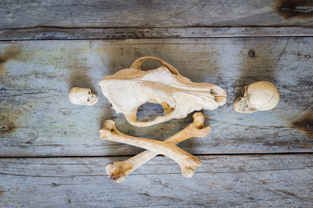 canid: Still Life Canine skull close up of wooden Background Stock Photo