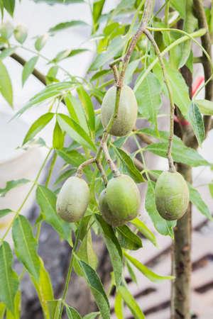 mediteranean: Olive branch