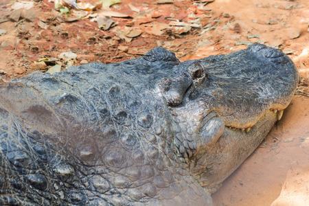 alligator eyes: crocodile Stock Photo