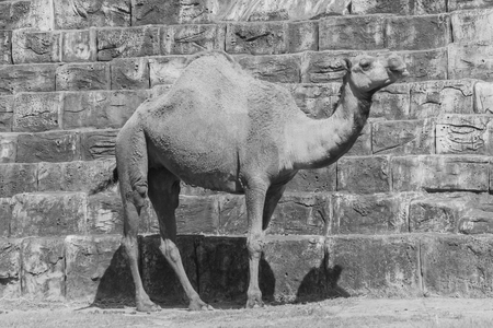 arab beast: camel Stock Photo