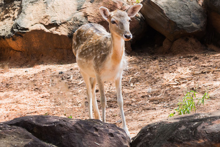 mother and baby deer: Portrait of Cheetal Spotted deer.