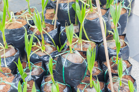 coconut seedlings: Sprout of coconut tree on background Stock Photo