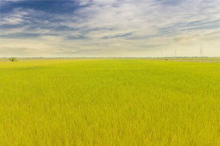 food supply: Green rice plant in thailand location is big food supply farm