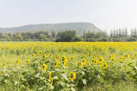 regeneration: Sunflowers have abundant health benefits. Sunflower oil improves skin health and promote cell regeneration.