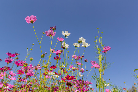 Pink white and red cosmos flowers garden,Blurry to soft focus and retro film look new color modern tone. Stock Photo