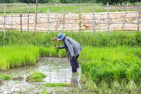 farmers rice planting working.