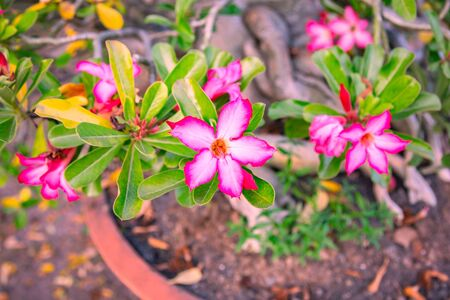 Pink adenium flowers  background. Adenium obesum is a colorful houseplant in temperate regions.