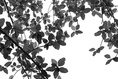 Silhouettes of tropical leaves on white background.