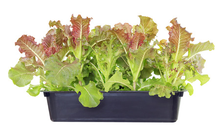 Fresh lettuce, Young salad in a flowerbed on white background.