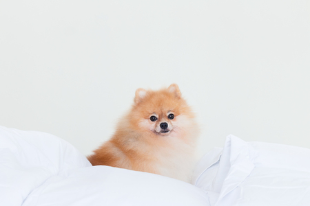 Cute pomeranian dog sit on human bed.