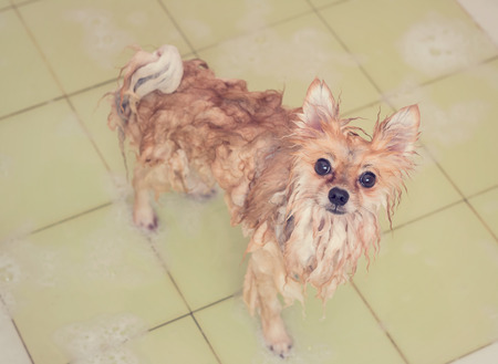 Brown pomeranian dog taking a shower with soap and water in bathroom. Banco de Imagens - 110615571
