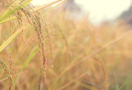 Rice field Banco de Imagens - 110615576