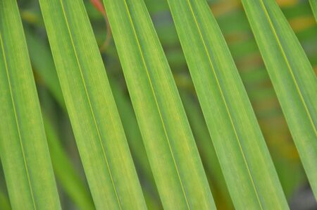 Leaf plam for texture and background