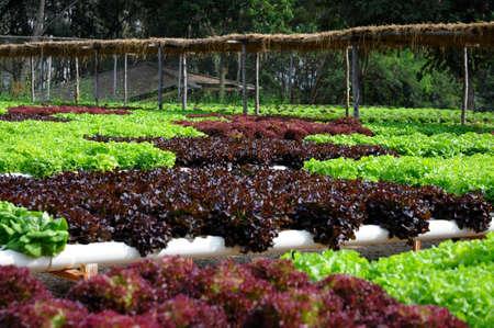 heirloom: Heirloom Lettuce in organic gardening