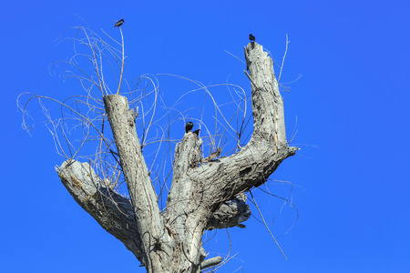 leafless: Dead tree with crows standing on branch of dry leafless