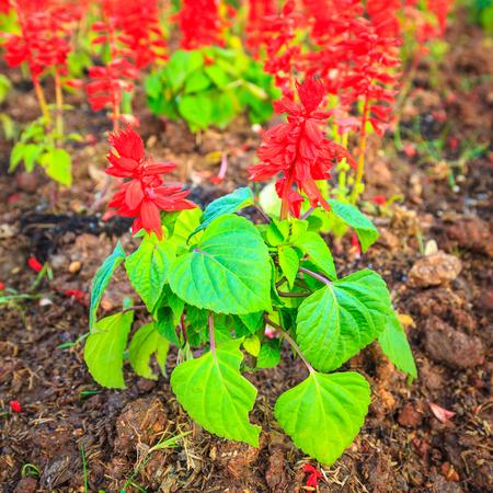 florae: Red Salvia or Salvia splendens background
