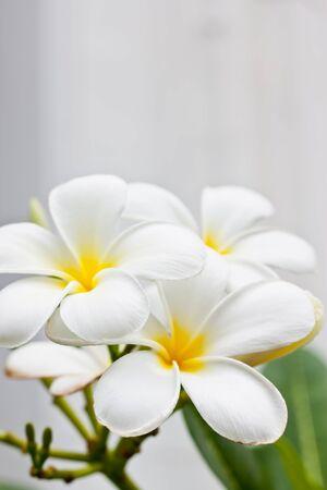 White champaka flower photo