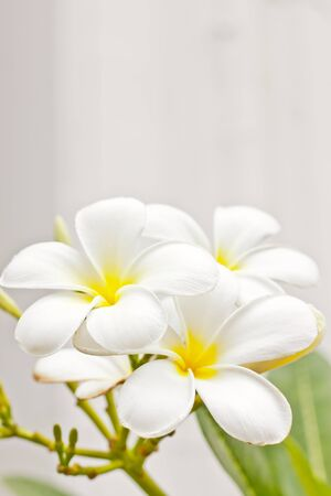 white champaka flower Stock Photo - 14869191