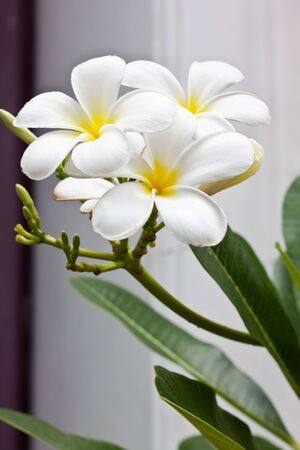 white champaka flower photo