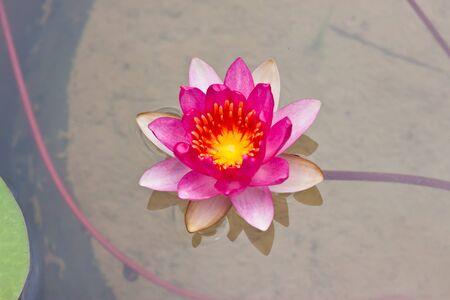 Red lotus photo