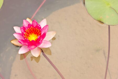 Red lotus Stock Photo - 15087805
