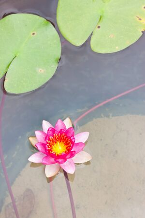 Red lotus photo