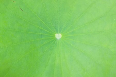 Leaf of lotus photo