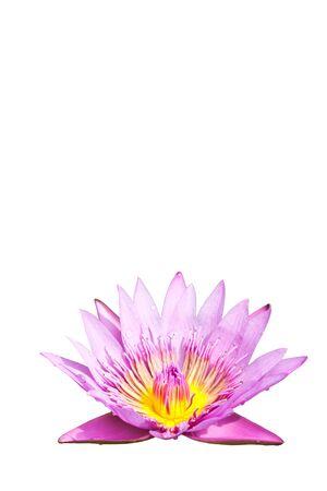 Pink lotus Stock Photo - 15087793