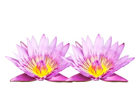 Pink lotus Stock Photo - 15087798