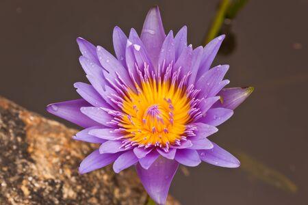 Purple lotus Stock Photo - 15089363