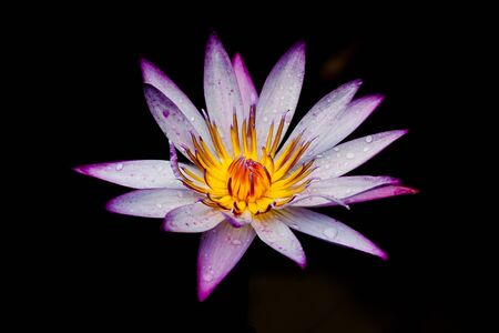 Purple lotus Stock Photo - 15087799