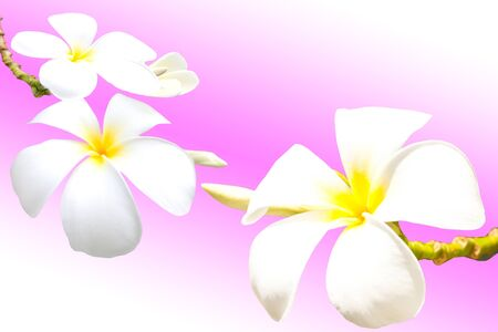 frangipani flower photo