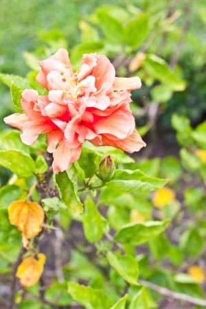 Chinese rose photo