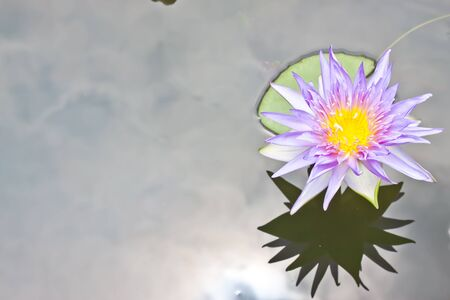 purple lotus in garden photo
