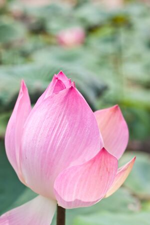 pink lotus in garden photo