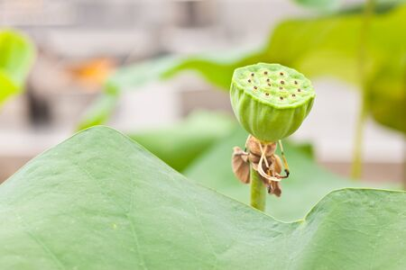 seed of lotus photo