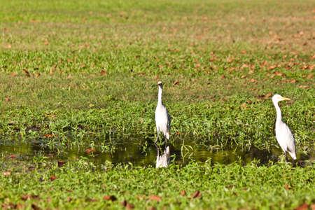 chilika: white bird