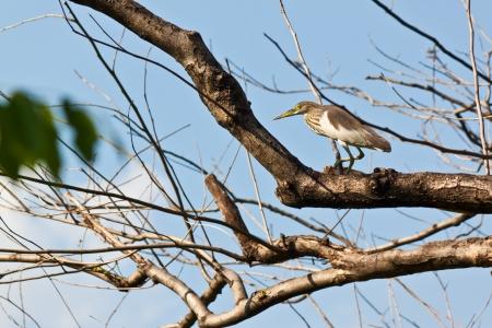 chilika: bird on balance Stock Photo