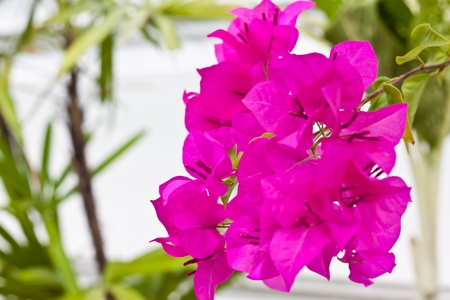 bougainvillea photo
