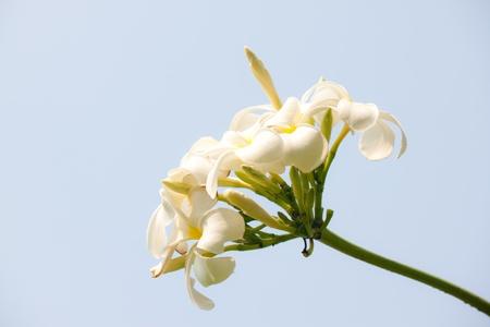 white frangipani photo