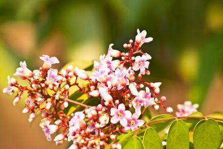flowering gooseberry photo