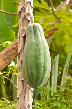 fresh papaya photo