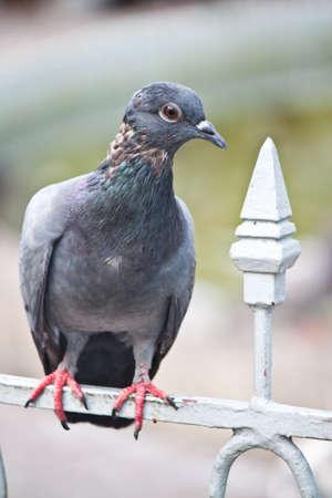 pigeon Stock Photo - 18504355