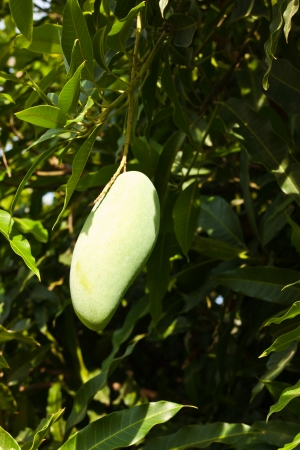 mango in garden photo