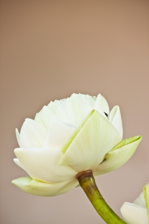 beauty of lotus photo