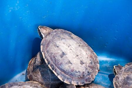 radiated: turtle