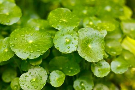 Centella asiatica Zdjęcie Seryjne - 22217058